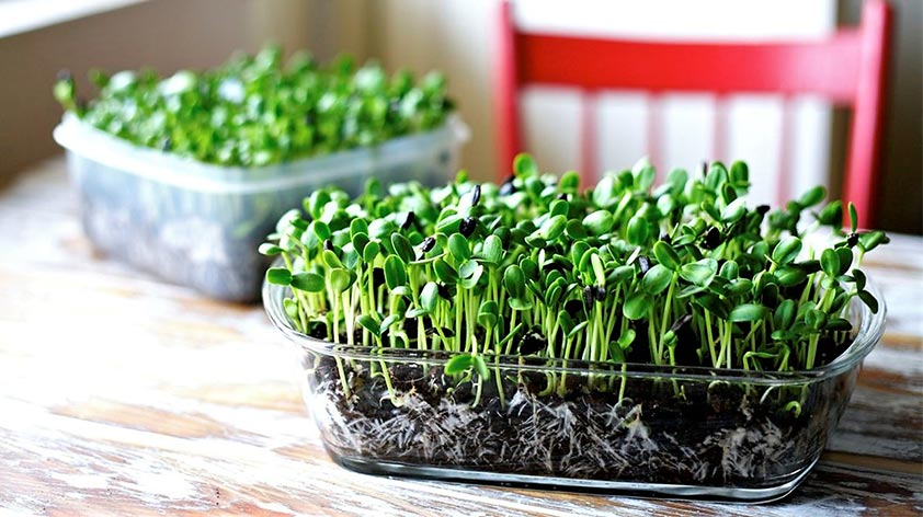 How to Grow Microgreens in India